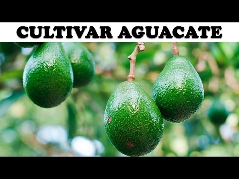Aguacate tama o bonsai con frutos ya grandes avocado - Plantar aguacate en casa ...