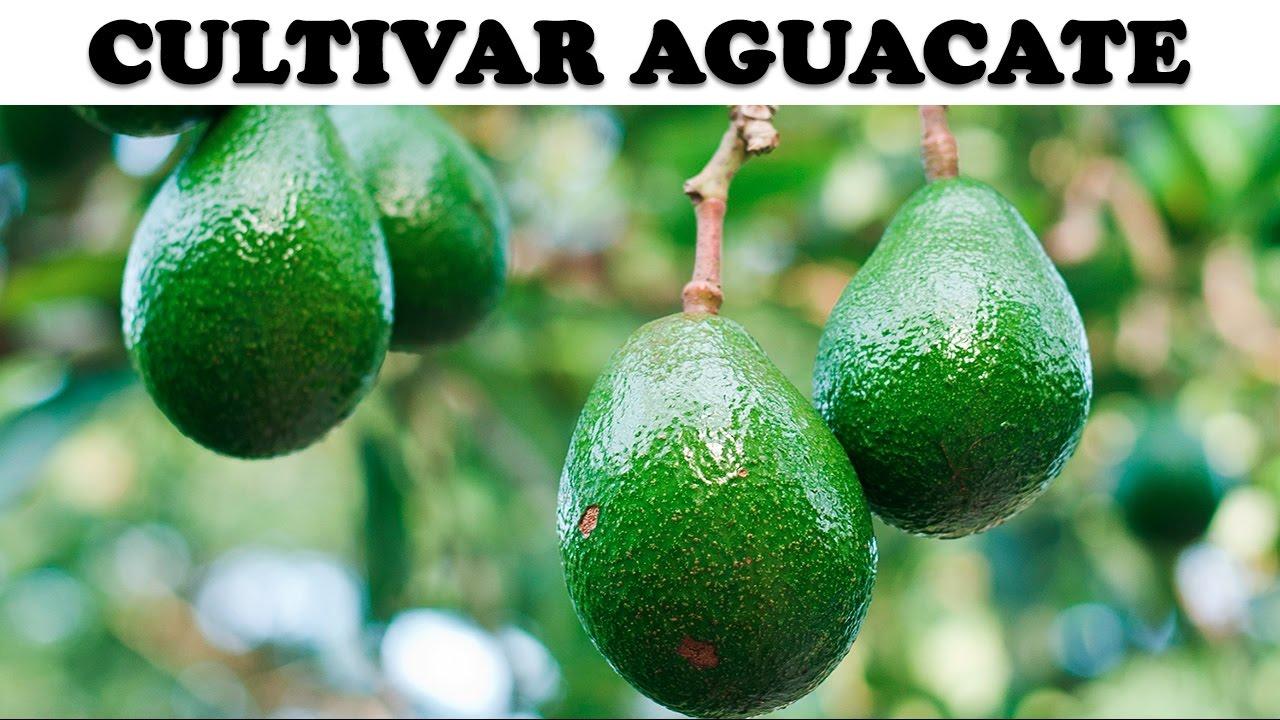 Tubget download video cultivar aguacate en casa - Plantar aguacate en casa ...