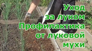 Профилактика от луковой мухи. Уход за луком (рассада из семян и севок), мульчирование с секретом