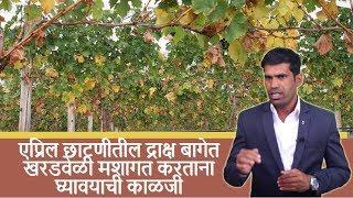 shrihari ghumare | एप्रिल छाटणीतील द्राक्ष बागेत खरडवेळी  मशागत करताना घ्यावयाची काळजी