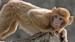 Флирт с обезьяной. Вид отличий, обезьяних готовностей к любви.