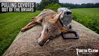 Pulling Coyotes Out Of The Briars - Coyote Hunting