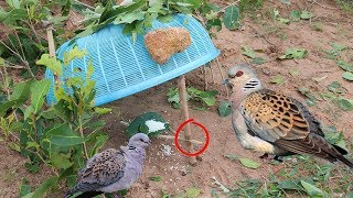 awesome quick bird trap using the plastic basket work 100