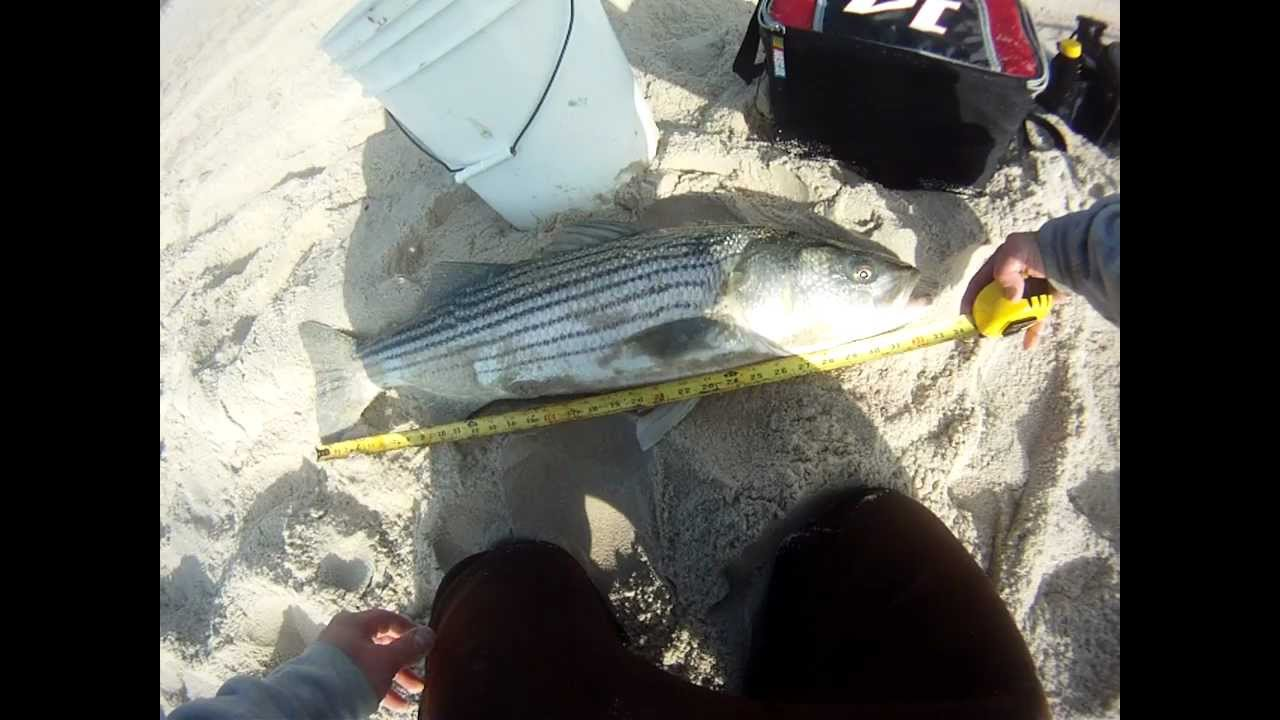 Striped bass surf fishing lbi nj 34 released youtube for Nj surf fishing reports