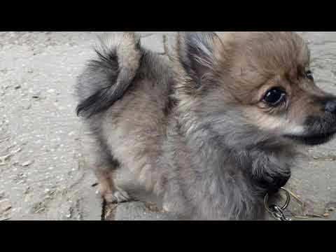 Beautiful German Miniature Spitz Puppies #SikoStudios