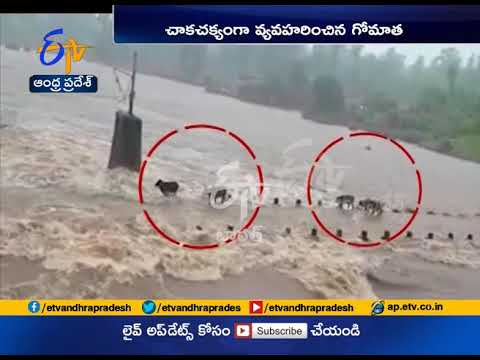 Watch | Cattle swept away in flash floods in Maharashtra
