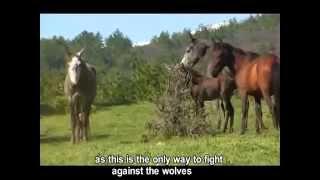 Türkiye vahşi atları ( yılkı atı belgeseli )