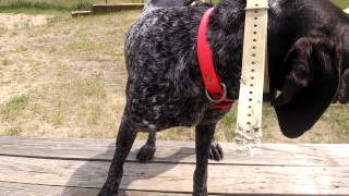 Michigan German Shorthaired Pointer Force Fetch