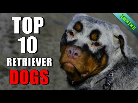 TOP 10 RETRIEVER DOG BREEDS OWNING A DOG