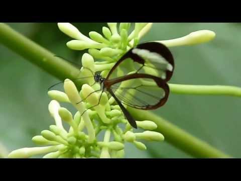 Greta oto - прозрачная бабочка