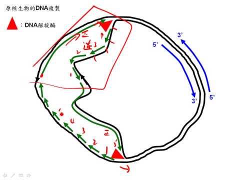 11 3原核生物的DNA複製三廉good1