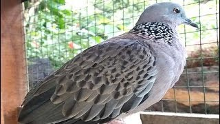 Pangilan Burung Terkukur Paling Ampuh Buat Pikat dan Masteran