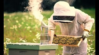 Pčele - Da li nadimljavanje škodi pčelama?