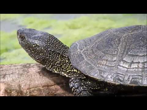 Европейская болотная черепаха и интересные факты о ней 🐢