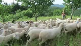 Démonstration travail chien de troupeau