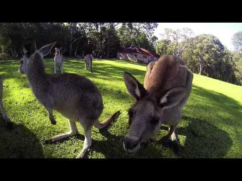 Wild Kangaroos New South Wales Australia - go pro hero3 black