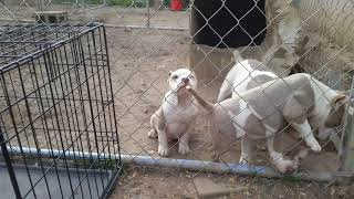 Dax louie v line hollywood meets ch.tripod daughter jupiter roc n ruby blood