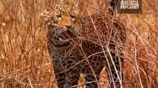 Ultimate Animal Moms - Hyena vs Leopard