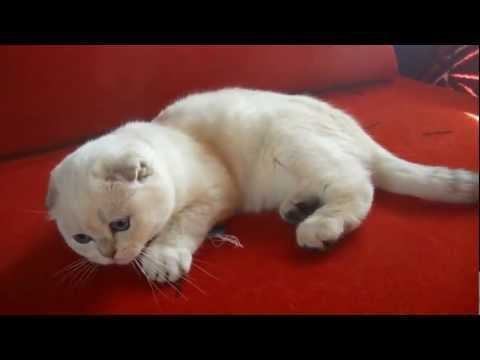 7C 7Cwfiles brothersoft   7Cs 7Cscottish Fold Lovely Baby 95207 1920x1200 together with Ugly Cat Breeds furthermore Muchpics furthermore BXVuY2hraW4ga2l0dGVucw likewise CnVzc2lhbiBibHVlIGtpdHRlbnM. on fat scottish fold munchkin cat