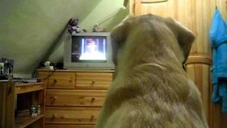 Лабродор смотрит фильм