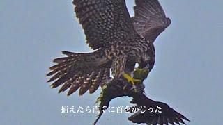 ハヤブサの狩りを見た〜照ヶ崎海岸