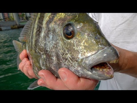 This Fish EATS Rocks... Catch Clean Cook (Sheepshead)