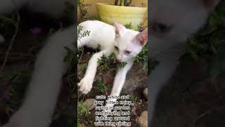 cute white and gray kitten enjoy laying garden and playing and fighting sibling