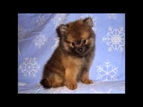 how to train a pomeranian how to train a pomeranian puppy to sit youtube 4986