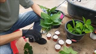 수국 삽목 방법 소개; Hydrangea Cutting Propagation in Korea
