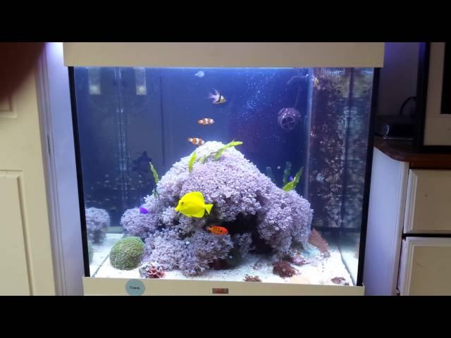 Juwel lido 200 marine reef aquarium pulsing xenia