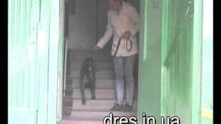 Собака тянет? Как научить выходить из подъезда?
