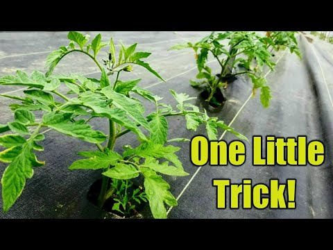Making Tomato Plants 10x more Productive