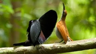 Magnificent Riflebird thumbnail