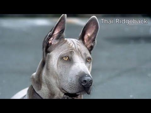 Thai Ridgeback  medium size hound dog breed