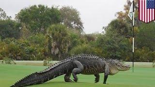 Ogromny aligator terroryzuje ludzi na polu golfowym na Florydzie
