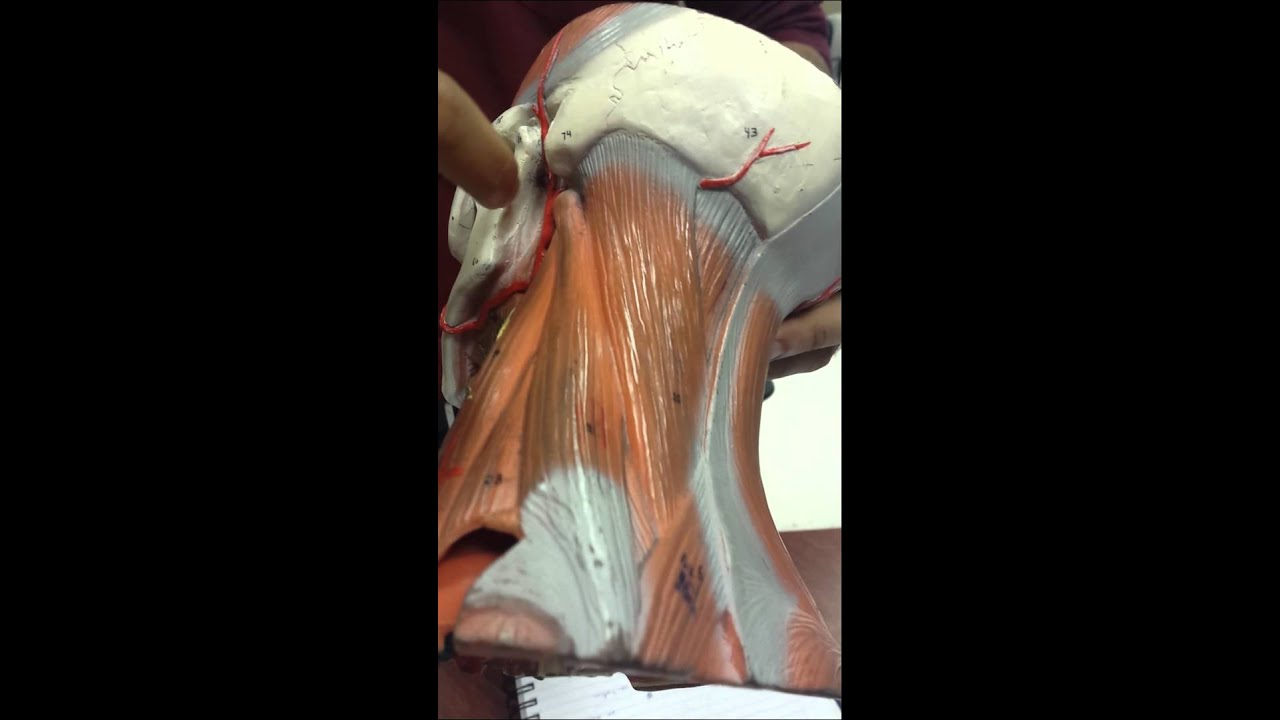Superficial Temporal artery + Maxillary artery - YouTube