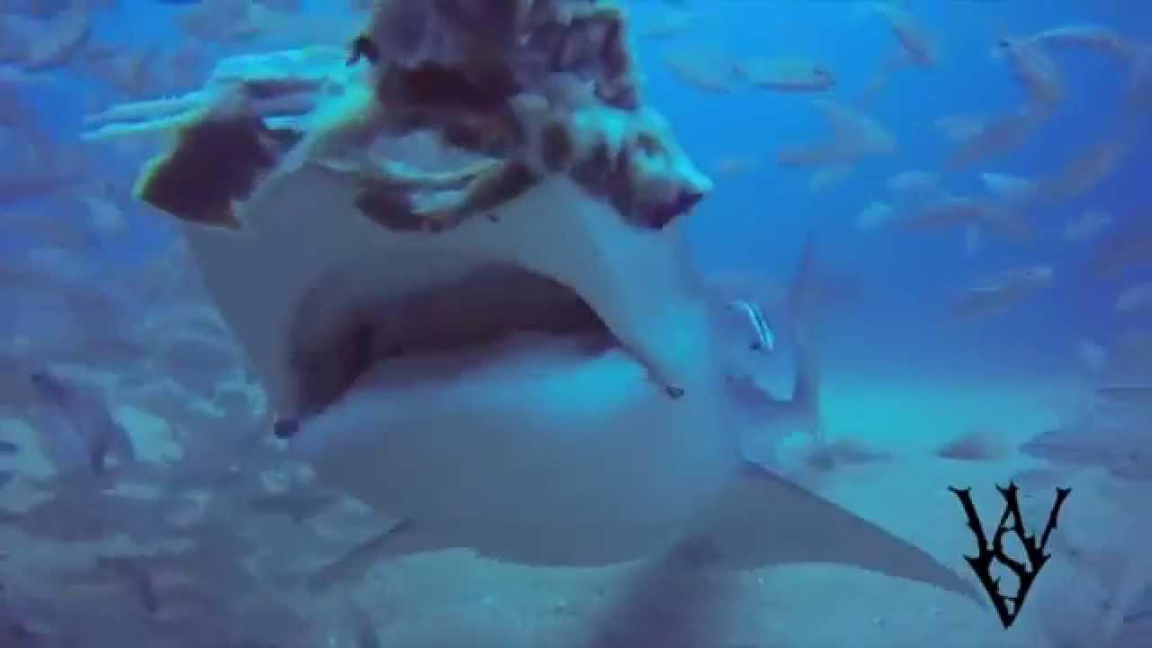Tiger Shark Attack Turtle - YouTube |Tiger Sharks Attack Turtle
