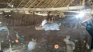 Video Rabbit Farming | Rabbit Farming in Tamilnadu | village Rabbit Farm | cups warrior download MP3, 3GP, MP4, WEBM, AVI, FLV Oktober 2018