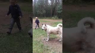 Прогулки с собакой 2.Северная лайка