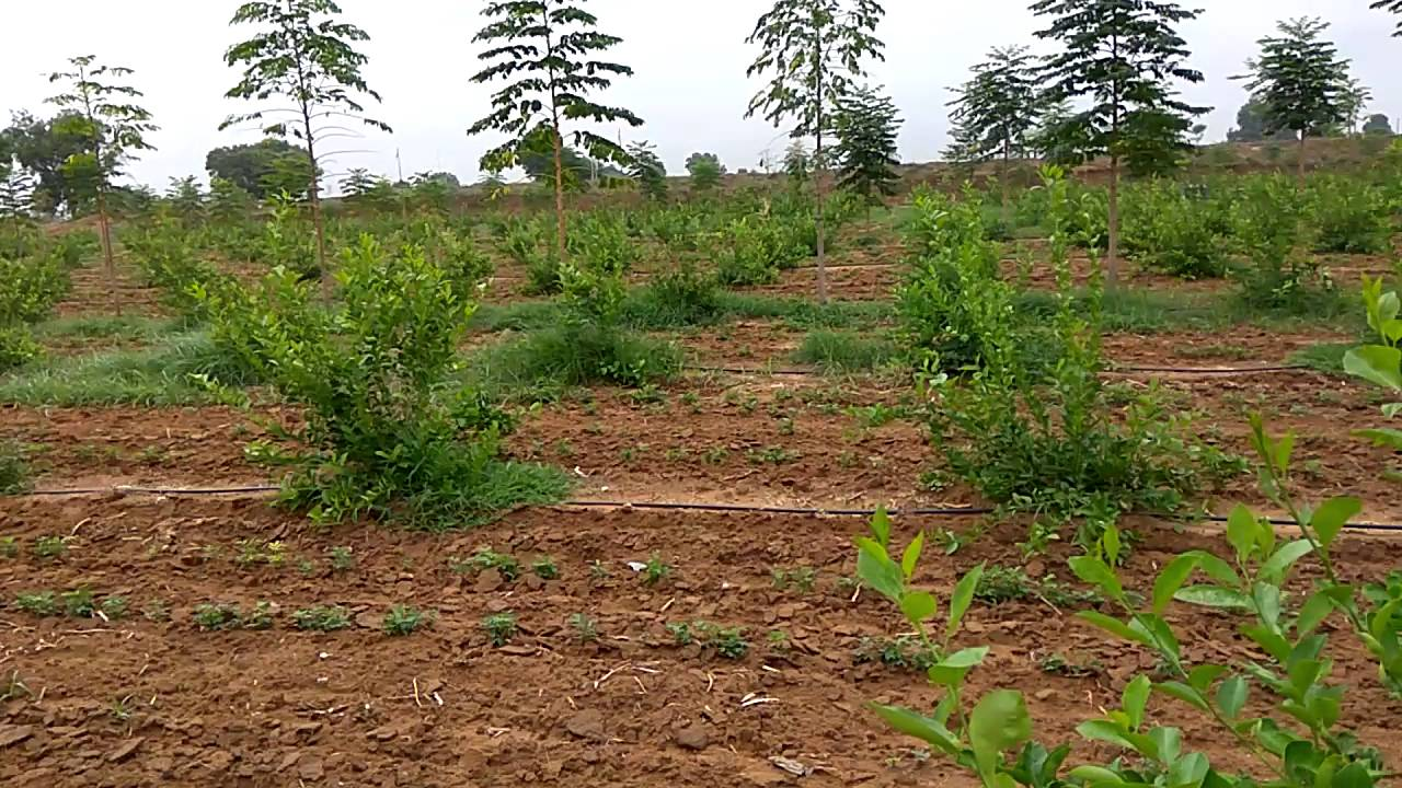 Seedless Lemon Plantation At Gujarat