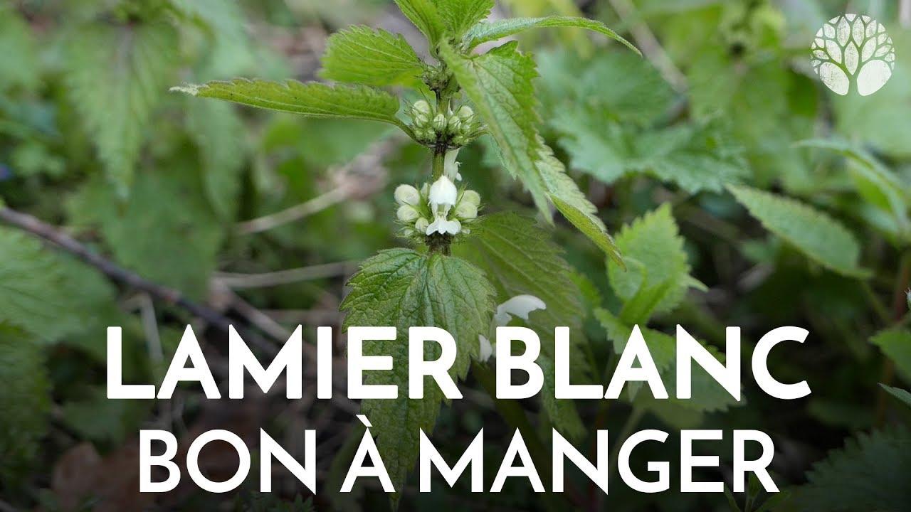 Lamier blanc, Lamium album, plante sauvage comestible et médicinale abondante