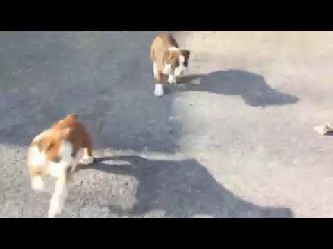 Regalo Cuccioli Di Boxer Femmina E Maschio Youtube