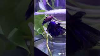 藍半月鬥魚 繁殖