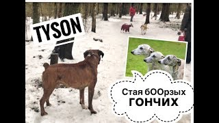 A pack of dogs attacked my Tyson.Стая очень бОрзых гончих напала сегодня на Тайсона