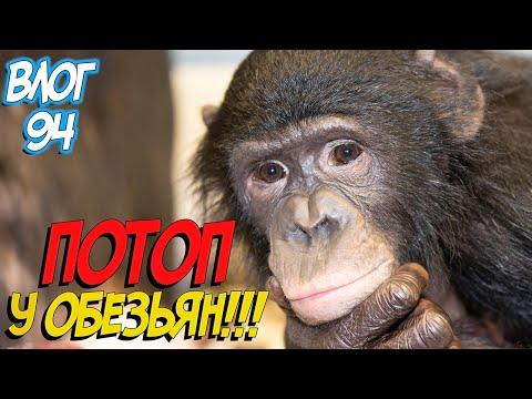 Вопрос: Почему учёные предлагали относить шимпанзе к роду Люди?