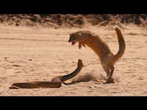 Lion, Mongoose Fight