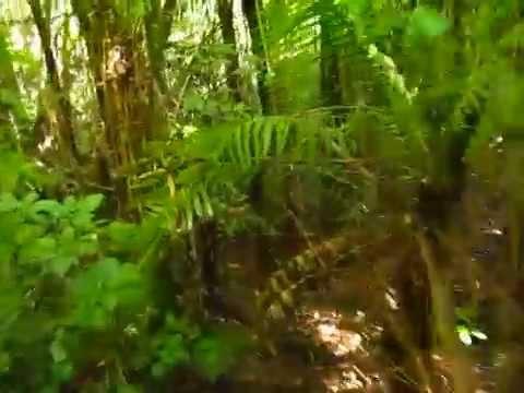 Selva Misionera en San Antonio - Helechos arborescentes EXTINGUIDOS