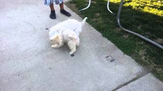 Havanese And Maltese Playing