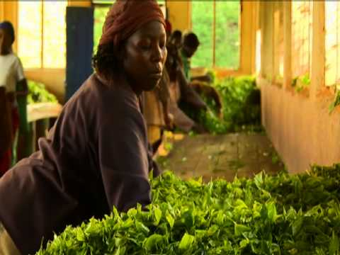 Fairtrade Tea -