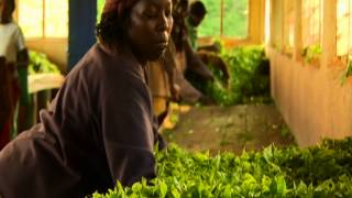 Fairtrade Tea - A Kenyan Tea Story - M&S Tea